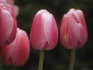 Close View of Tulips Growing in the Chicago Botanic Garden by Paul Damien