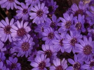Cluster of Felicia Daisies, Felicia Heterophylla by Paul Damien