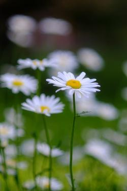 Daisies Growing in a Garden by Paul Damien