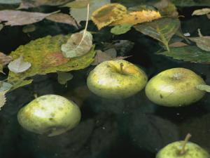 Four Green Apples Floating in a Pond in the English Walled Garden by Paul Damien