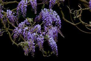 Lavender Colored Wisteria in Monet's Garden in Giverny by Paul Damien