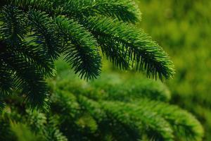 New Growth of Colorado Blue Spruce Needles in New Berlin, Wisconsin by Paul Damien