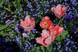 Pink Tulips Against a Bed of Forget Me Nots in Monet's Garden in Giverny by Paul Damien