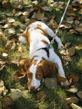 Portrait of a Brittany Spaniel Puppy Lying Among Fallen Autumn Leaves by Paul Damien