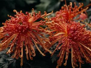 Red Spider Chrysanthemums Bathed in Sunlight by Paul Damien