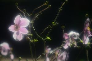 Soft Pink Petals and Gently Curved Stems Against a Black Background by Paul Damien