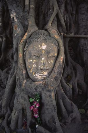 Head of a Buddha Statue Nestled in the Roots of a Tree in the Grounds of an Ayutthaya Temple