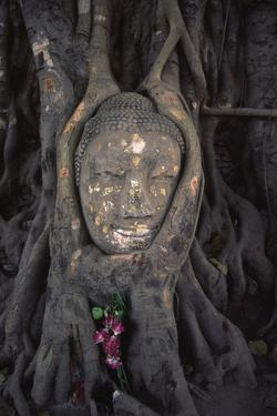 Head of a Buddha Statue Nestled in the Roots of a Tree in the Grounds of an Ayutthaya Temple by Paul Dymond