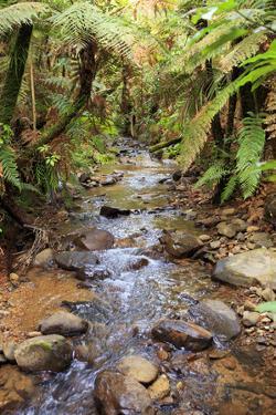 Kauri Lookout Trail Within Waiau Falls Scenic Reserve on Coromandel Peninsula, New Zealand by Paul Dymond