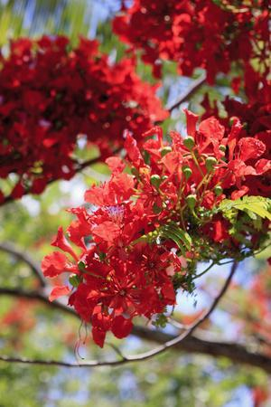 The Bright Red Flowers of the Flame Tree, Queensland, Australia