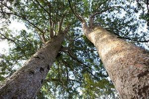 The Huge Kauri Trees, Waiau Falls Scenic Reserve, Coromandel Peninsula on North Island, New Zealand by Paul Dymond