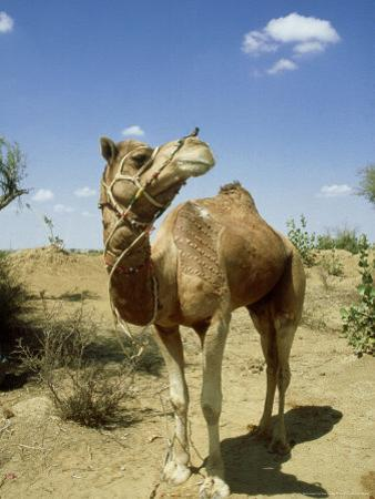 Domestic Camel, Thar Desert, India by Paul Franklin