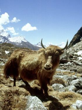 Domestic Yak, Khumbu Everest Region, Nepal by Paul Franklin
