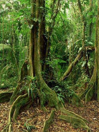 Rainforest Katway Tree, Buttress Roots by Paul Franklin