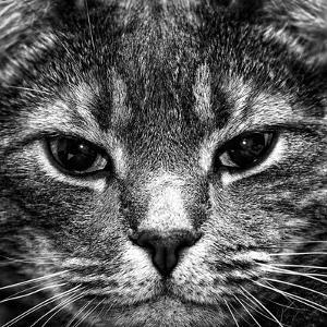 Cat Face in Black and White by Paul Frederiksen Jr.