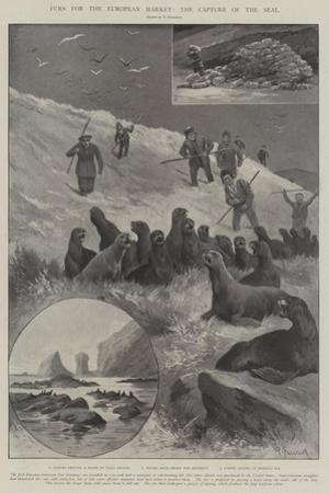 Furs for the European Market, the Capture of the Seal