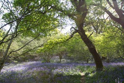 Bluebell Woodland by Paul Gillard