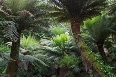 Canopy of Old Fern Trees by Paul Gillard