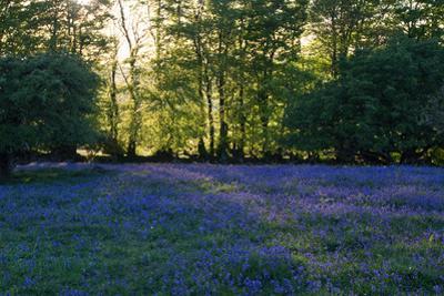 Field of Bluebells by Paul Gillard