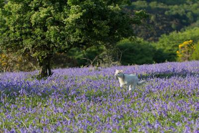 Lamb Running in Bluebells by Paul Gillard