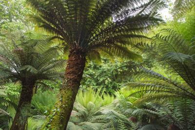 Large Fern Trees by Paul Gillard
