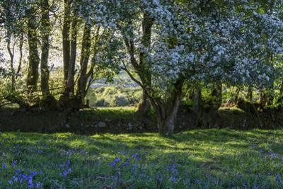 Trees and Hedgerow with Bluebells by Paul Gillard