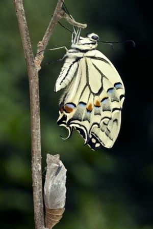 Common Swallowtail Butterfly by Paul Harcourt Davies