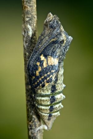 Common Swallowtail Chrysalis by Paul Harcourt Davies