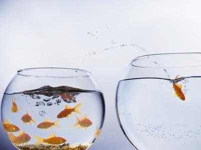 Goldfish Jumping into Different Bowl