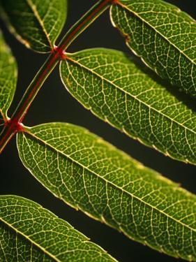 Yorkshire, Yorkshire Dales, Leaves in Closeup on the Yorkshire Dales National Park, England by Paul Harris
