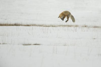 American Red Fox (Vulpes vulpes fulva) adult, hunting, jumping on prey in snow, Yellowstone