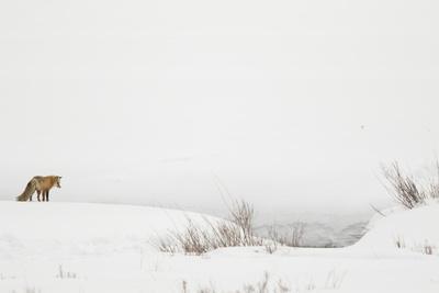 American Red Fox (Vulpes vulpes fulva) adult, standing on snow covered habitat, Wyoming