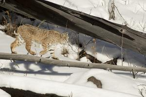 Bobcat (Lynx Rufus) Walking in Snow, Yellowstone National Park, Wyoming, USA, February by Paul Hobson