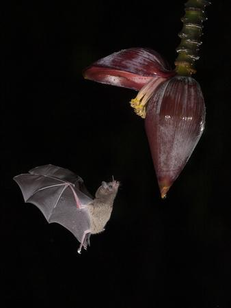 Leaf-nosed bat flying to banana flower to feed, Costa Rica