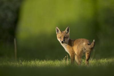 Red fox cub looking over shoulder at camera. Sheffield, UK