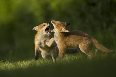 Red fox, two cubs play fighting. Sheffield, England, UK