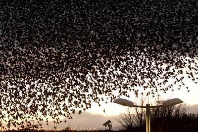 Starlings (Sturnus Vulgaris) Flocking Above Urban Streetlights at Dusk