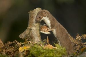 Weasel (Mustela Nivalis) Investigating Birch Stump with Bracket Fungus in Autumn Woodland by Paul Hobson