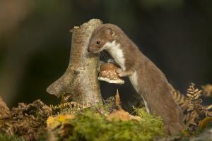 Weasel (Mustela Nivalis) Investigating Birch Stump with Bracket Fungus in Autumn Woodland by Paul Hobson