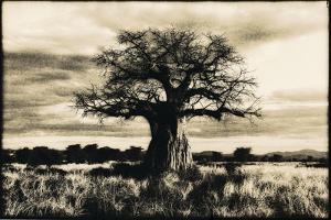 Baobab Tree in Ruaha National Park, Southern Tanzania by Paul Joynson Hicks