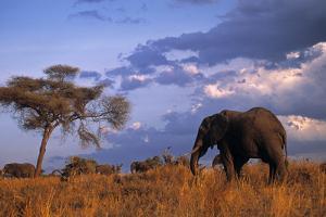Bull Elephant, Ruaha National Park, Sw Tanzania by Paul Joynson Hicks