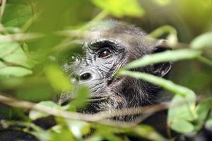 Chimpanzee in Bush at Mahale Mountains National Park, Tanzania by Paul Joynson Hicks