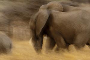 Elephant Walking in Tarangire National Park, Tanzania by Paul Joynson Hicks
