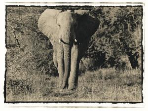 Elephant Walking Towards Camera in African Bush, Tanzania by Paul Joynson Hicks
