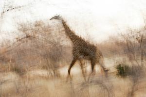Giraffe in Ruaha National Park, Tanzania by Paul Joynson Hicks