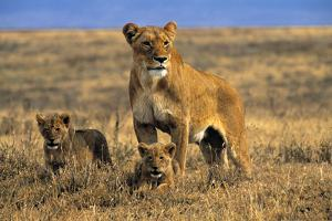 Lioness and Cubs, Ngorongoro Crater, Tanzania by Paul Joynson Hicks