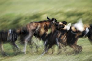 Wild Dogs Feeding on Young Wildebeeste , Piyaya, Tanzania by Paul Joynson Hicks