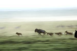 Wild Dogs Hunting Wildebeeste , Piyaya, Tanzania by Paul Joynson Hicks