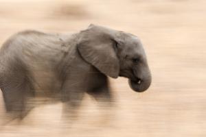 Young Elephant Walking in Tarangire National Park, Tanzania by Paul Joynson Hicks