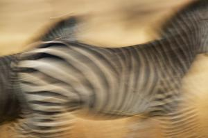 Zebra Walking in Tarangire National Park, Tanzania by Paul Joynson Hicks